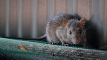 11 die from rodent-borne virus: What is hantavirus pulmonary syndrome?