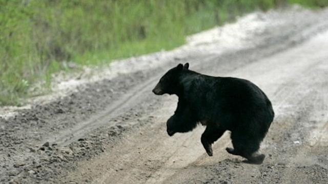 Woman Mauled By Bear in Gated Community: 911 Call