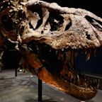 Tyrannosaurs may have hunted in packs like wolves, new research suggests