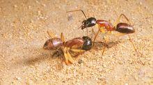 Cómo unas hormigas luchan contra el cambio climático comiendo orina