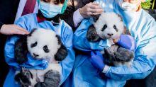 Berliner Panda-Buben bekommen traumhafte Namen