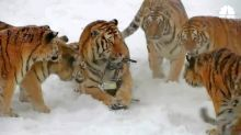 Viral Video of Drone-Hunting Tigers Hides Dark Reality