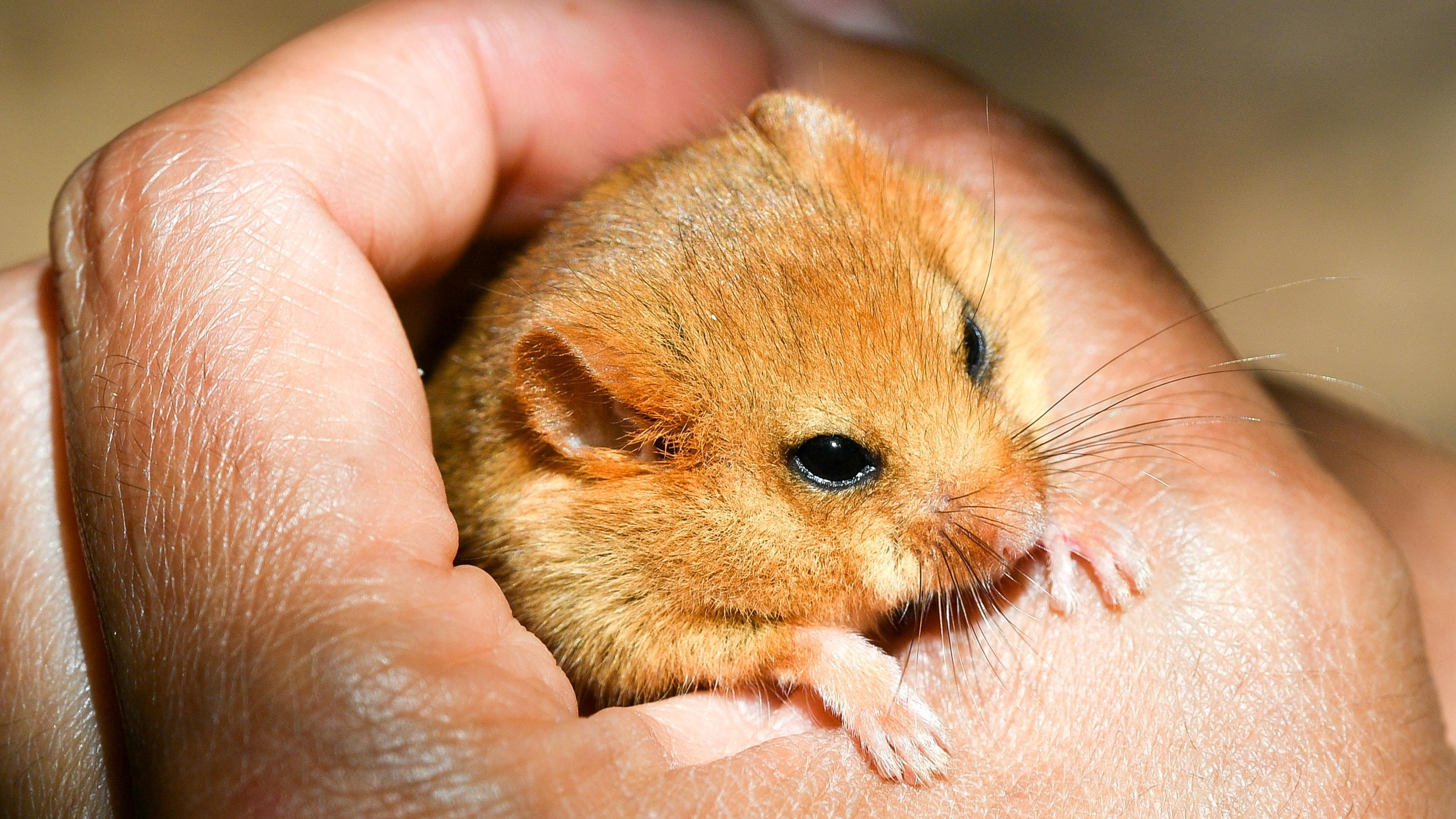 Hazel dormouse numbers down by half since 2000, report warns