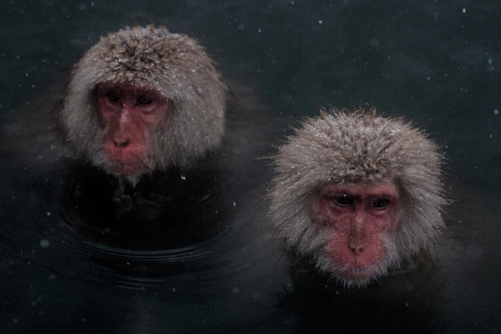 "Japan's ""snow monkeys"" are known for their love of hot springs in the country's northern Nagano region, with tourists flocking to photograph the mediating macaques soaking in steaming baths (AFP Photo/YASUYOSHI CHIBA)"
