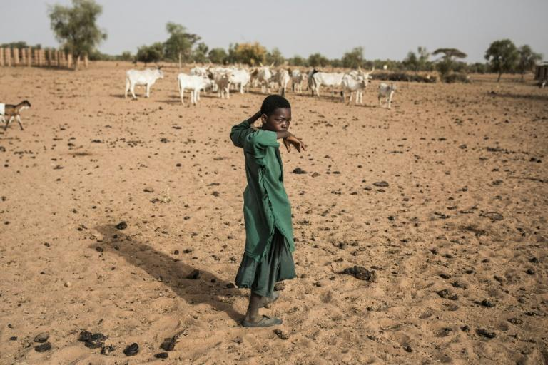 Pastoralists move with their cattle from north to south across Louga as pasture dries up (AFP Photo/JOHN WESSELS)