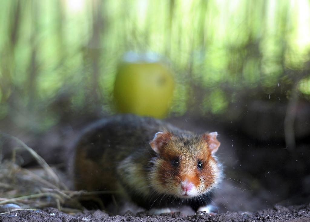 """The major consumption of corn leads to infanticide among the Great hamster, a rodent threatened in Alsace, according to a recent study highlighting """"problems related to monoculture"""" (AFP Photo/Frederick FLORIN)"""