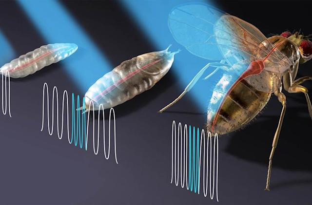 Researchers control fruit flies' hearts with a laser