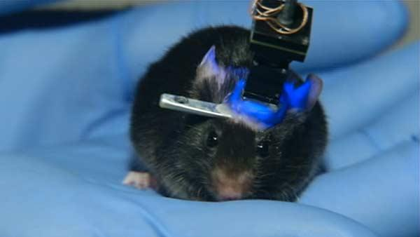 Researchers develop way to read minds of mice