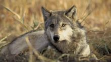 Campers in Israel warned after series of wolf attacks