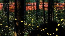 The Great Smoky Mountains' Famous Synchronous Firefly Event Will Be Available to Watch Online