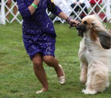 Wasabi the Pekingese wins Westminster Dog Show in New York