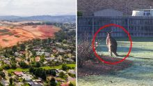 'Blood on hands': Kangaroo slaughter on hold after joeys spotted in mob