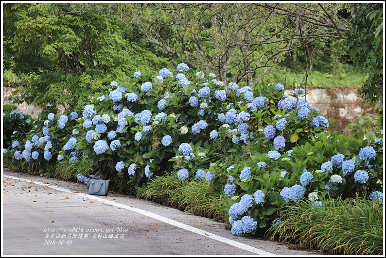 赤柯山繡球花-2018-06-24.jpg