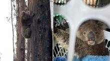 60,000 koalas killed or affected by 'black summer' bushfires
