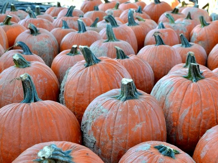 Along with crisp air and turning leaves, a fall tradition for many families is a visit to a local pumpkin patch.