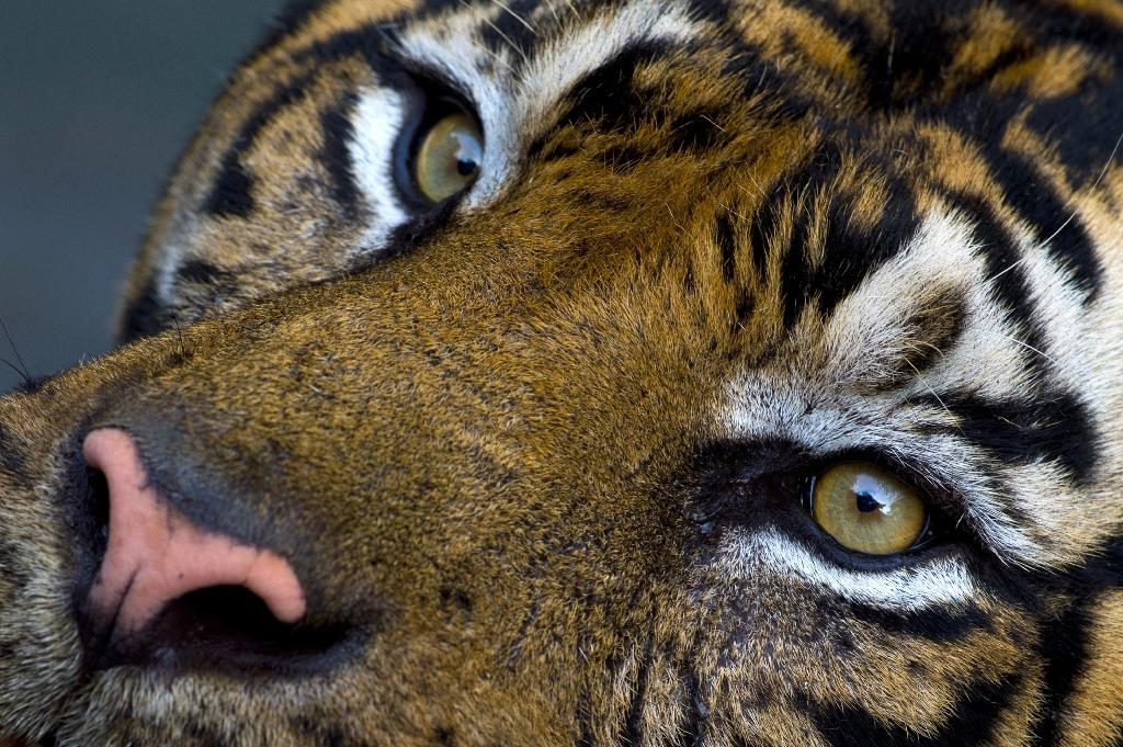 """A zookeeper has been killed in a """"tragic incident"""" after being attacked by a tiger at a New Zealand zoo"""