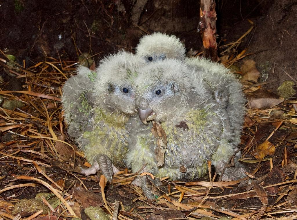 The plump parrots have produced 249 eggs this year, of which 89 have so far hatched (AFP Photo/ANDREW DIGBY)