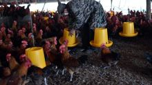 Farms must stop using antibiotics on healthy animals, says WHO