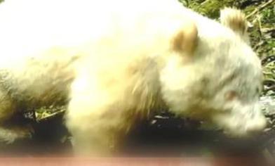 全球首見 陸拍到純白大貓熊