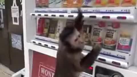 Clever Monkey Buys a Drink