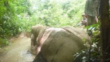 亞洲象被大量偷獵 剝皮慘死 就係因為呢粒珠?