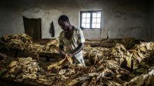 EEUU congela importaciones de tabaco de Malaui por sospecha de trabajo infantil