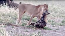 Wild Dog Uses Award-Worthy 'Play Dead' Act To Escape From A Lioness' Jaws