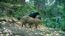 Rare Black Panther Makes Appearance on Camera in Odisha