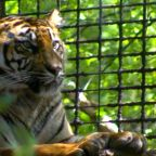 Zoo director speaks out after zookeeper attacked by tiger