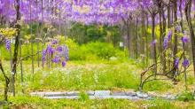 搭捷運來追紫色夢幻風暴吧!台北紫藤花景點 TOP 3