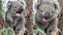 A Beaten Up Koala Reveals The 'Roar' Sound He Makes And People Are Very Confused