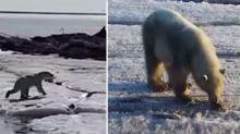 Polar bear found 700km from home