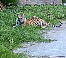 Missing Houston tiger found safe