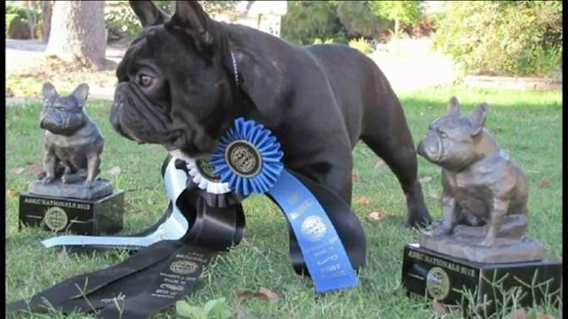 Award-Winning Bulldogs Stolen From Family`s Home a Second Time