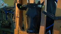 Moooove over fossil-fuels - Cow power's coming