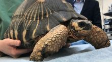 Man faces court over three stolen tortoises, one of which was stolen twice