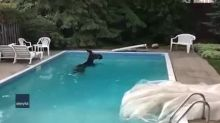 Moose Takes a Dip in Ottawa Backyard Pool