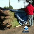 Christmas trees to see price hike due to shortage