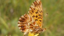 Vielfalt der Schmetterlinge schrumpft dramatisch