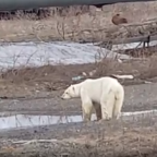 'Hungry and Sick' Polar Bear Seen Wandering Near Talnakh, Russia