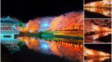 日本「上沼公園」超靚夜櫻 仙境一樣Twitter熱傳