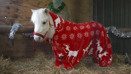 "<p>Horse owners often drape blankets over their fillys to keep them warm come winter, but Daffy the mini Shetland pony has gone one better: a holiday-themed onesie — er, ""foursie."" ""In winter I always worry about Daffy getting chilly as he spends so much time out of his stable,"" owner and trainer Jackie Rowberry was said in an emailed press release. <i>(Photo: Ascot Racecourse)</i></p>"