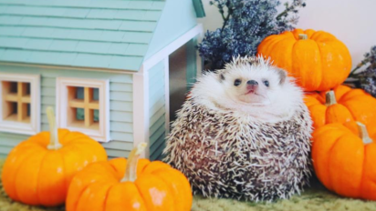 This tiny hedgehog's Instagram adventures are too cute
