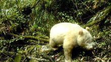 Rare albino panda caught on camera in China: state media