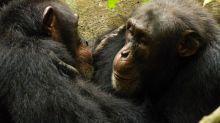 Schimpansen verlieren kulturelle Vielfalt