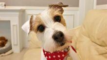 Jack Russell Terrier closes door to hide her guilt