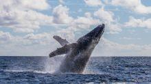 Así logran las ballenas y los delfines librarse del cáncer