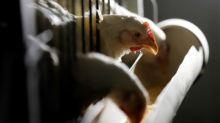 China impõe medida antidumping nas importações de frango do Brasil; BRF despenca 7,5%