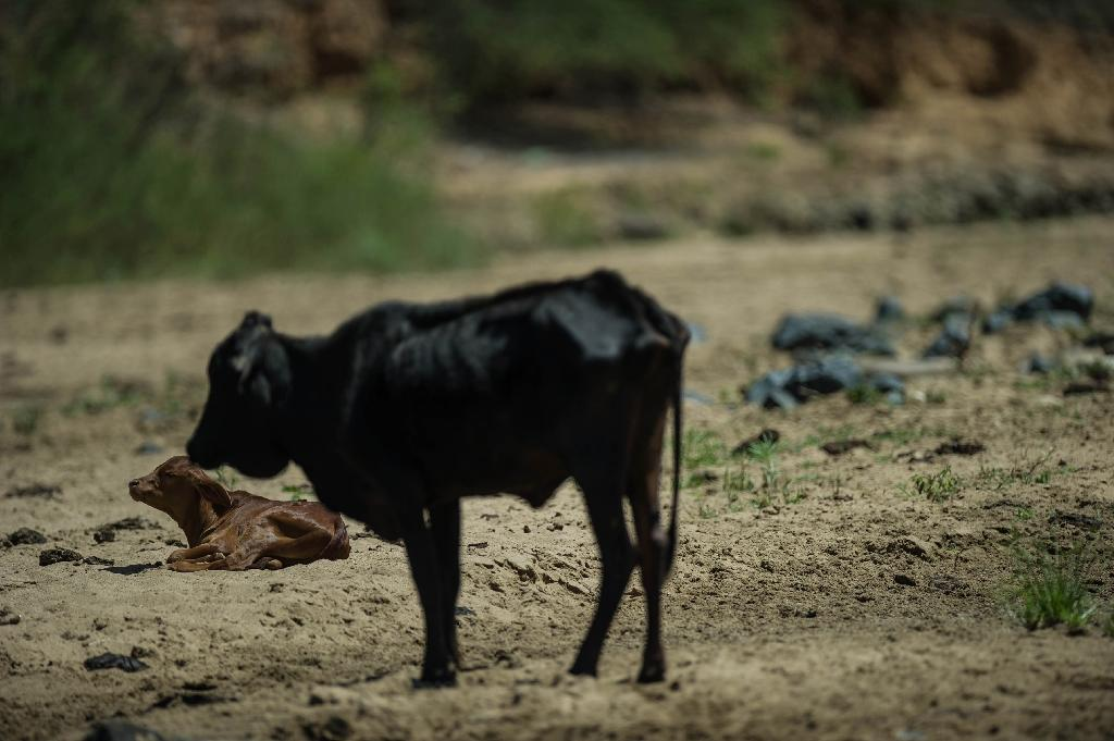 A devastating drought is claiming thousands of livestock in South Africa, and prompting many to fear famine (AFP Photo/Mujahid Safodien)