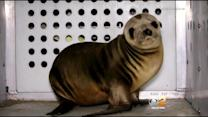 Baby Sea Lion Stolen From Mother On Dockweiler State Beach